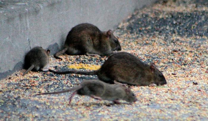 Уничтожение крыс Челябинске