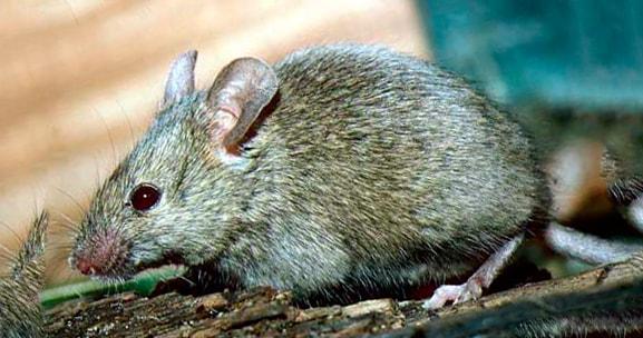домашняя мыша