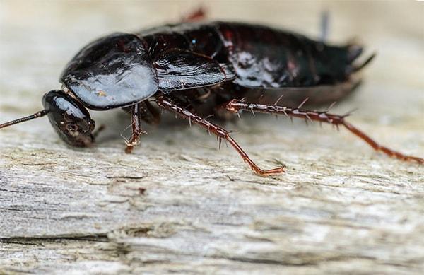пищеварительная система черных тараканов