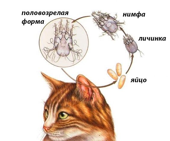 Ушной клещ: признаки, способы борьбы и лечение